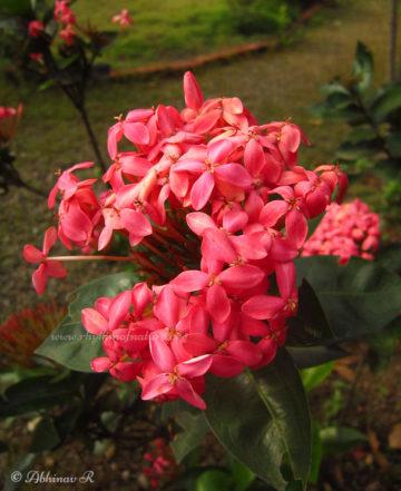 Pink Ixora Flower