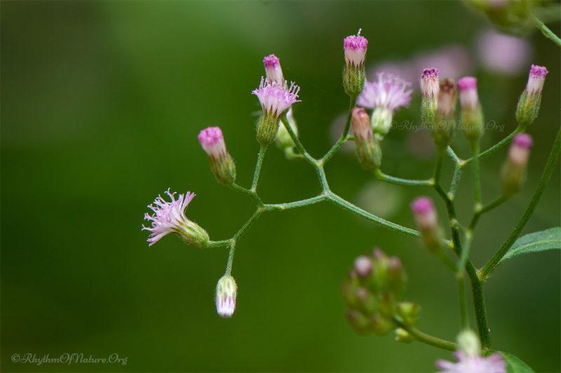 Little Ironweed - Poovamkurunnila - Vernonia cinerea