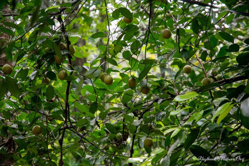 Fruits growing on a nutmeg tree - Jathikka