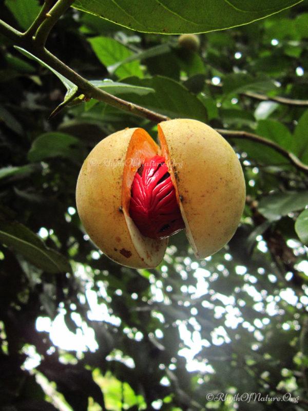 Nutmeg - Jathikka in Kerala