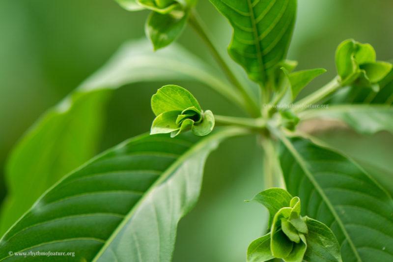 Adalodakam plant