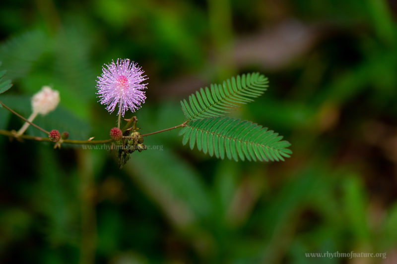 Thottavadi - Touch Me Not Plant - Mimosa pudica