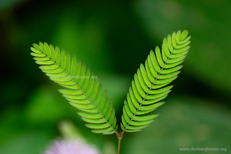 Leaves of Thottavadi - Touch Me Not Plant - Mimosa pudica