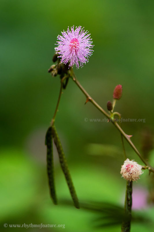 Seeds of Touch Me Not Plant - Mimosa pudica